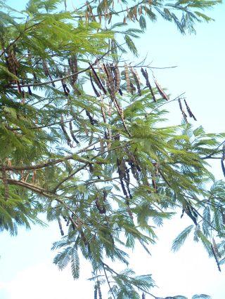 Anadenanthera peregrina-met-Puerto López-jul 2005-RB_04